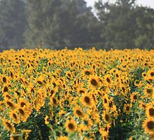 Field of Yellow by milerunner81