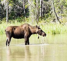 Drolling Moose by Yukondick