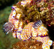 Nudibranch Magic by reefdoctor