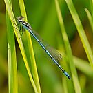 Azure Damsel Fly by MikeSquires