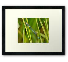 Azure Damsel Fly Framed Print