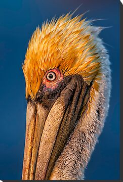 Pelican Profile by Daniel  Parent