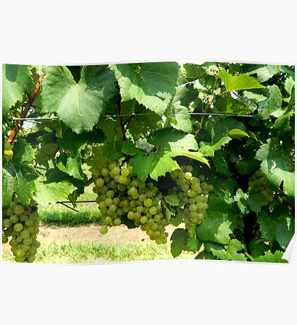 Green Grapes On the Vine    ^ Poster