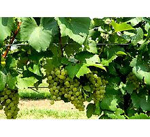 Green Grapes On the Vine    ^ Photographic Print