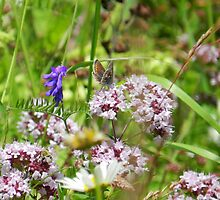 Northern brown Argus butterfly by weecritter