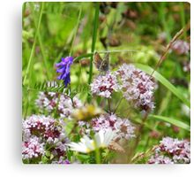 Northern brown Argus butterfly Canvas Print