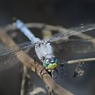 Blue Dragonfly by Shaun  Gabrielli