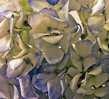 Blue And White Hydrangea Petals  by Sandra Foster