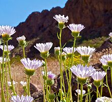 Mojave Asters by John Butler