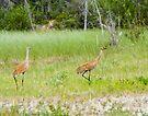Sandhill Cranes along Yellowknife Highway by Yukondick