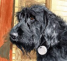 Labradoodle Ralph by Yvonne Carter