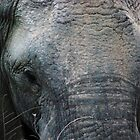 Closeup of an elephant by gogston