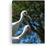 White stork couple, Ciconia ciconia Canvas Print