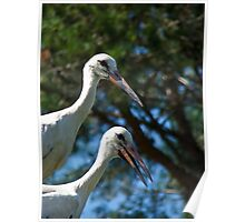 White stork couple, Ciconia ciconia Poster