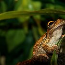 Cuban Tree Frog by Jonathan Carre