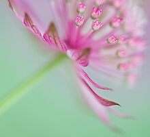 Astrantia summer by Jacky Parker