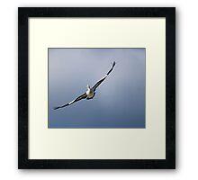pelican in flight -   #7117 Framed Print