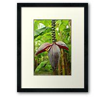 A Banana Flower Spike Inflorescence Framed Print