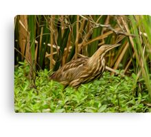 American Bittern-Oil Canvas Print