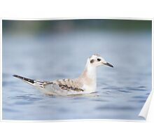 Low Angle Bonaparte's Gull. Poster