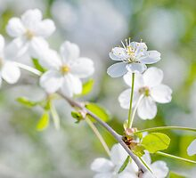 White Cherry Flower by luckypixel