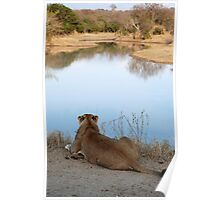 Lion overlooking waterhole Poster