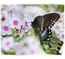 Phlox & Butterfly Poster