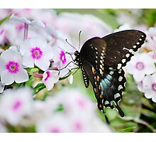 Phlox & Butterfly Photographic Print