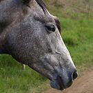 HORSE LOOKING by Colin Van Der Heide