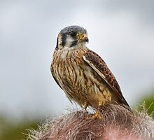 New Style In Headgear-  American Kestrel by lynn carter