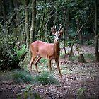 Roe deer staring by Peter Wiggerman