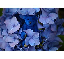 Blue Bear plays Hide and Seek. Photographic Print