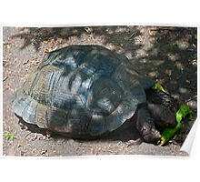 Giant Tortoise Poster