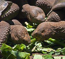 Giant Tortoise5 by bulljup