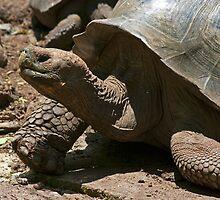 Giant Tortoise6 by bulljup