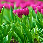 Tulips by iPostnikov