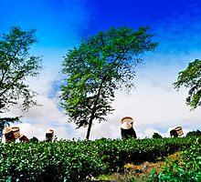 Women Harvesting Tea by Nhan Ngo