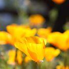 California Poppy by Ashley  Langtry