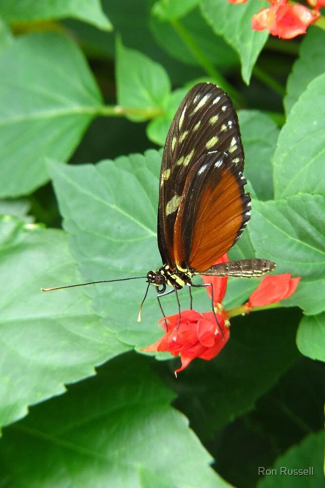 Longwing Hecale by Ron Russell