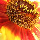 Helianthus Earthwalker (Sunflower) by Esther's Art and Photography