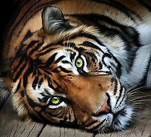 Sumatran Tiger by Matthew Bates