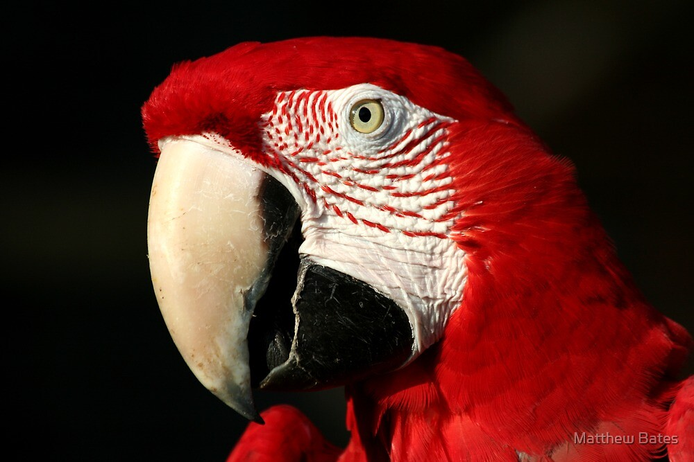 Red Macaw by Matthew Bates