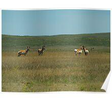 Prong Horn Antelope Poster