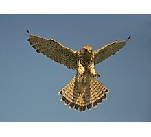 Kestrel landing Photographic Print