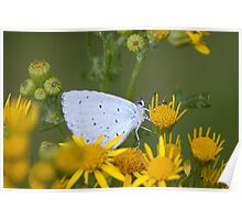 Holly Blue Poster
