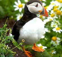 Puffin at Sumburgh Head, Shetland Isles, Scotland by Karen Marr