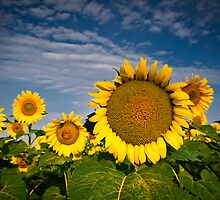Sunflower study I by Nate Welk