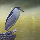 Night Heron by withacanon