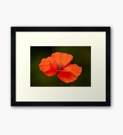 Single Poppy Flower Framed Print