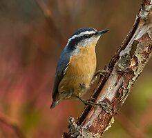 RED-BREASTED NUTHATCH by Sandy Stewart